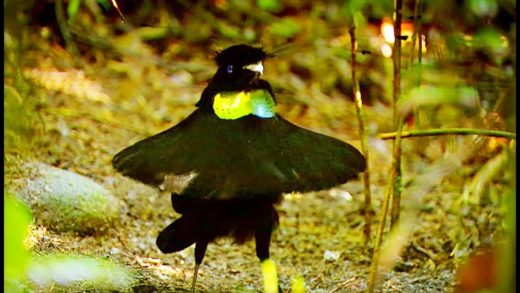 La danse hilarante de l'oiseau de paradis