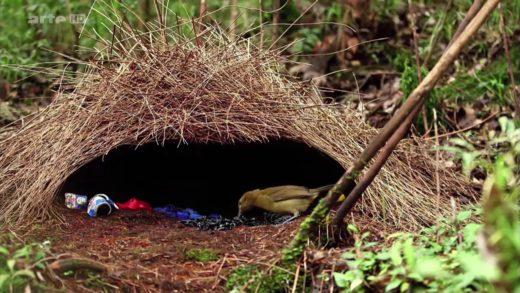 Les paradisiers de La Nouvelle Guinée