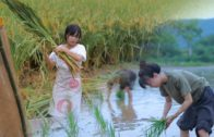 李子柒 Liziqi // La lune est ronde, le riz est parfumé et la récolte de l'agriculteur s'agite. 月儿圆圆,稻米飘香,正逢农家收谷忙